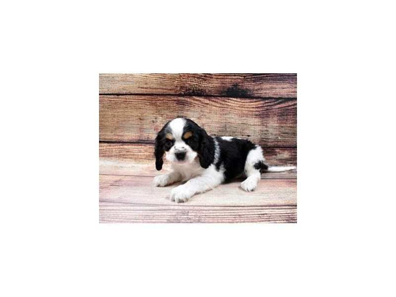 Beaglier-DOG-Male-Black White and Brown-2998318-PetCenter Old Bridge Puppies For Sale