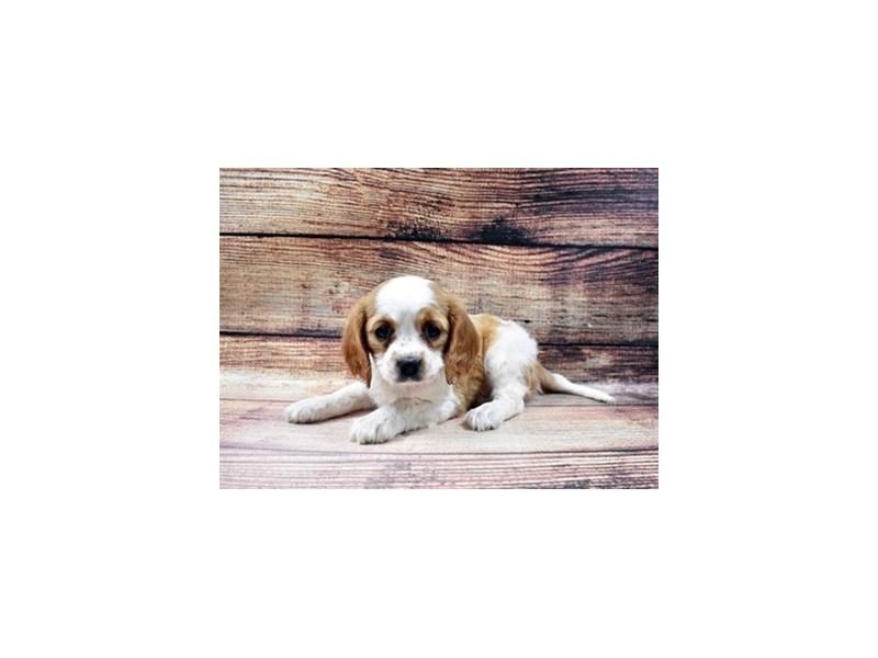 Beaglier-Female-Blenheim-2998319-PetCenter Old Bridge Puppies For Sale
