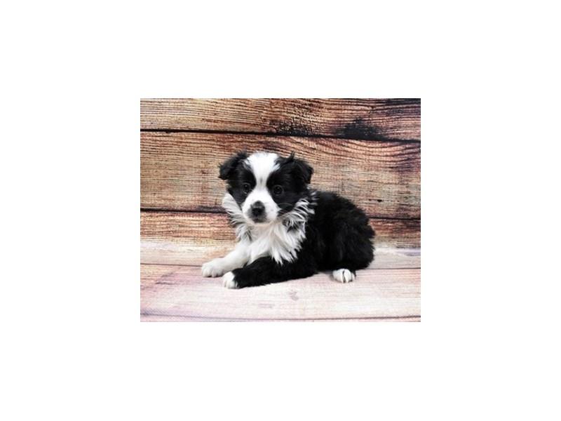 Miniature Australian Shepherd-DOG-Female-Black and White-2998330-PetCenter Old Bridge Puppies For Sale