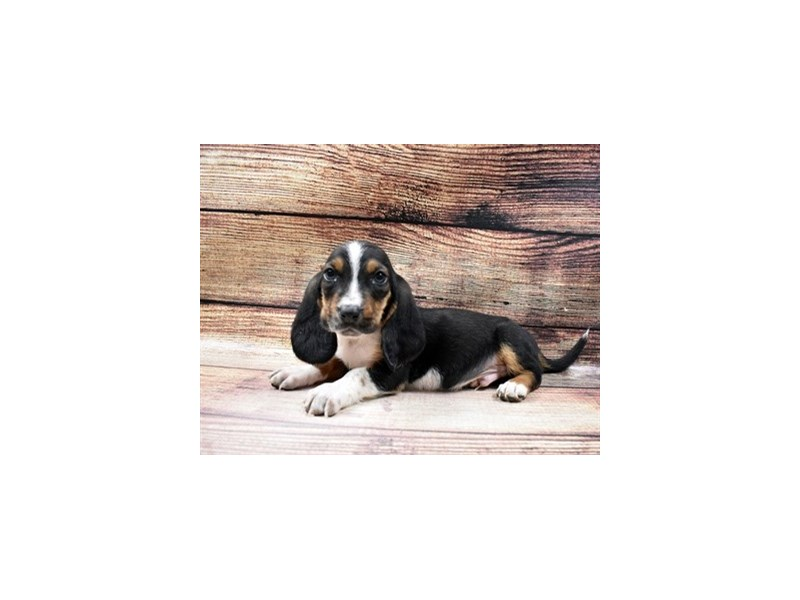 Basset Hound-DOG-Male-Black Brown and White-2998334-PetCenter Old Bridge Puppies For Sale