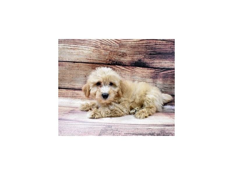 Mini Aussiepoo-DOG-Male-Gold-2998346-PetCenter Old Bridge Puppies For Sale