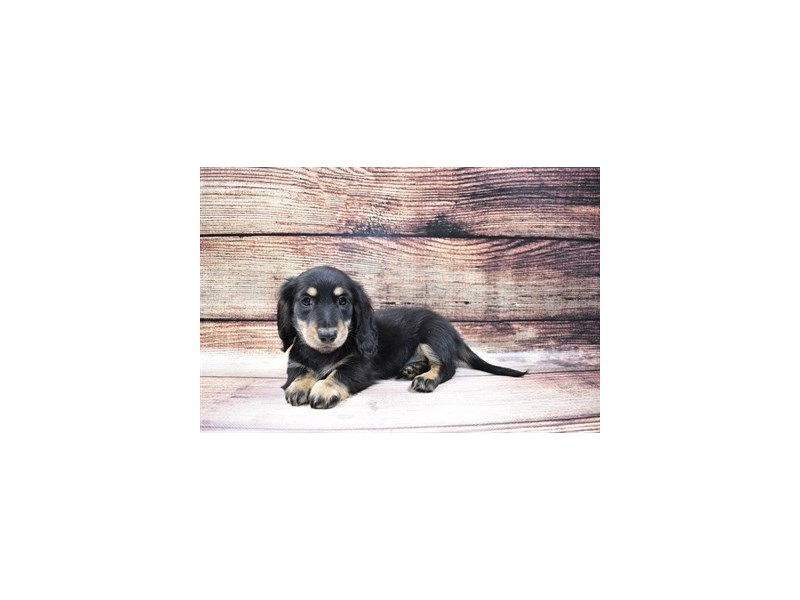 Dachshund-DOG-Male-Black and Tan-3006916-PetCenter Old Bridge Puppies For Sale