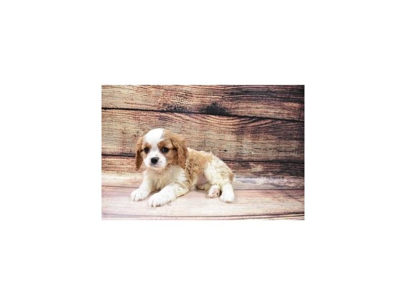 Cavalier King Charles Spaniel-DOG-Female-Blenheim-3006926-PetCenter Old Bridge Puppies For Sale