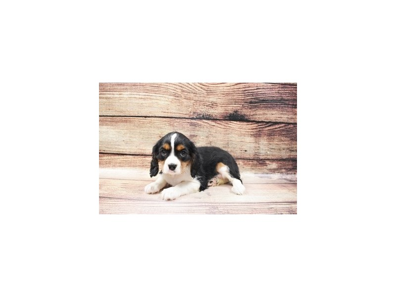 Cavalier King Charles Spaniel-DOG-Male-Black and White-3006928-PetCenter Old Bridge Puppies For Sale
