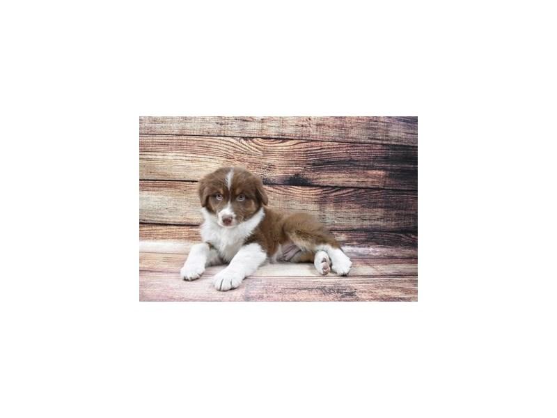 Australian Shepherd-DOG-Male-Red-3006937-PetCenter Old Bridge Puppies For Sale