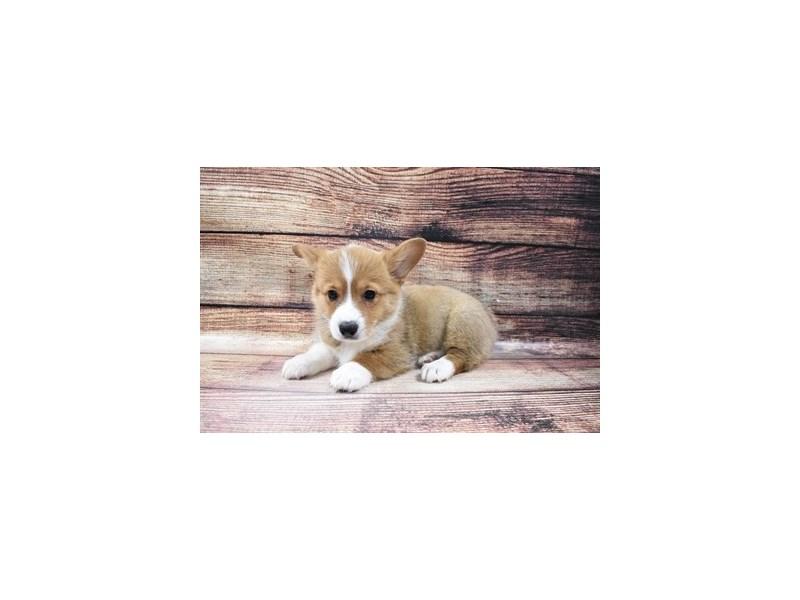Pembroke Welsh Corgi-Female-Red-3006941-PetCenter Old Bridge Puppies For Sale