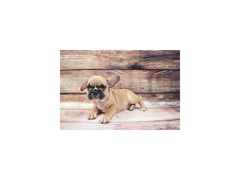 French Bulldog-DOG-Male-Red-3006950-PetCenter Old Bridge Puppies For Sale
