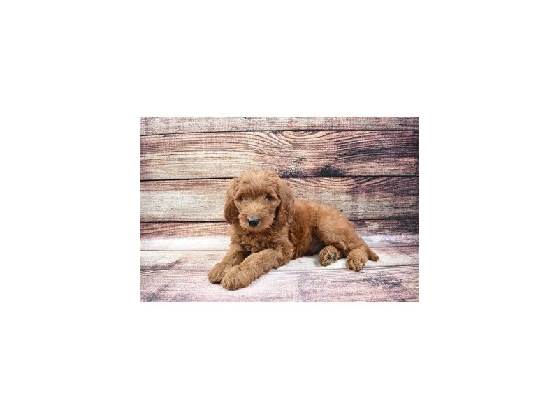 Goldendoodle-DOG-Male-Red-3007031-PetCenter Old Bridge Puppies For Sale