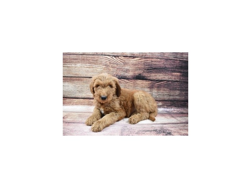 Goldendoodle-DOG-Male-Red-3007032-PetCenter Old Bridge Puppies For Sale