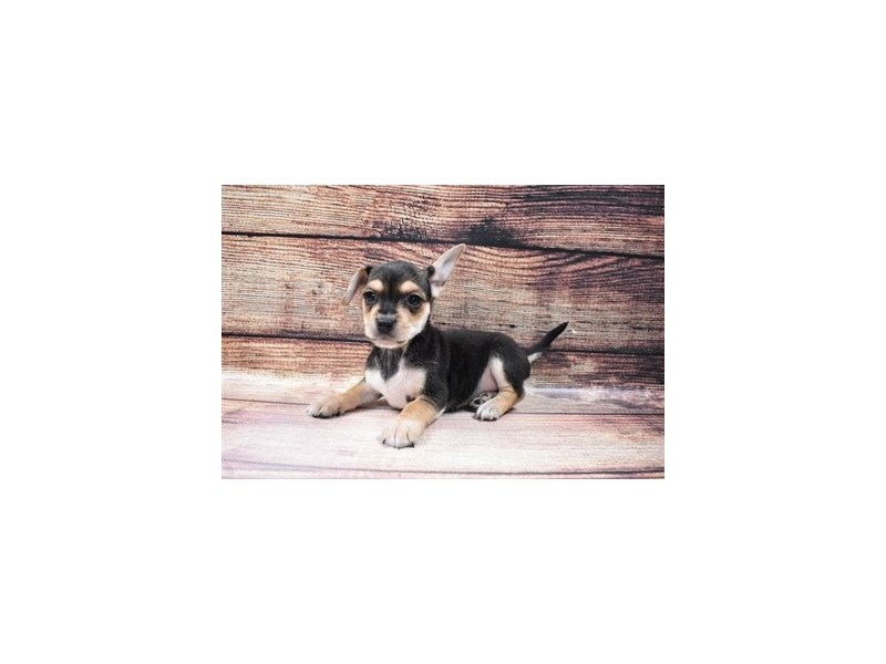 Chorkie-DOG-Male-Black and Tan-3015945-PetCenter Old Bridge Puppies For Sale