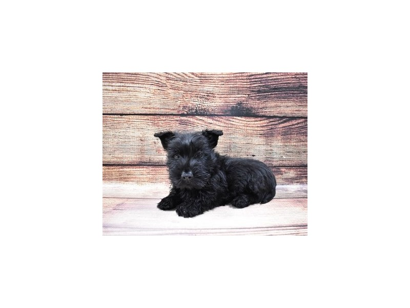 Scottish Terrier-DOG-Female-Black-3015954-PetCenter Old Bridge Puppies For Sale