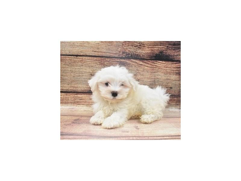 Havanese-DOG-Female-White-2965108-PetCenter Old Bridge Puppies For Sale
