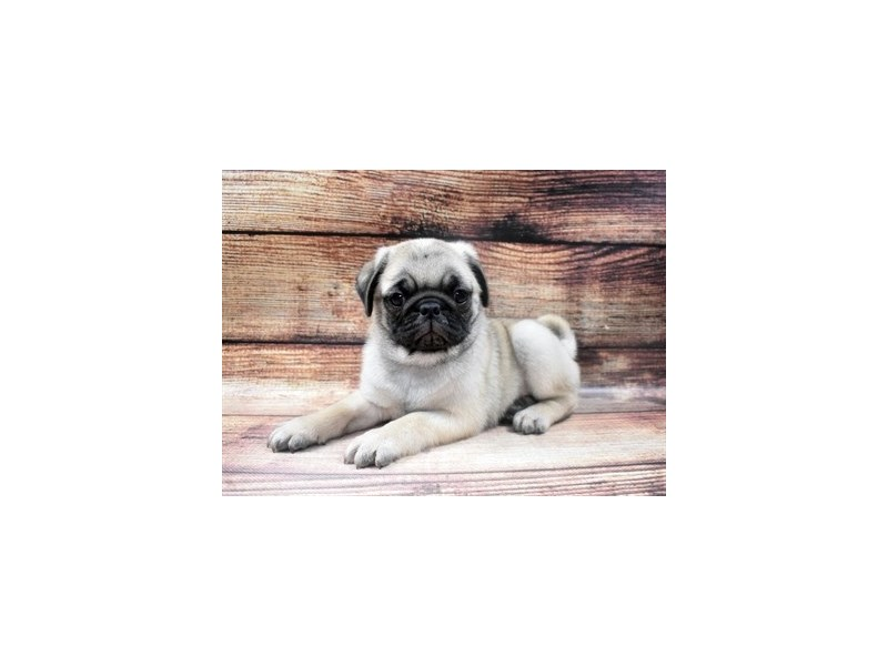 Pug-DOG-Male-Fawn-2965143-PetCenter Old Bridge Puppies For Sale