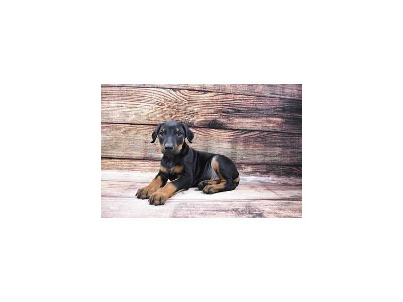 Doberman Pinscher-Male-Black and Rust-2973303-PetCenter Old Bridge Puppies For Sale