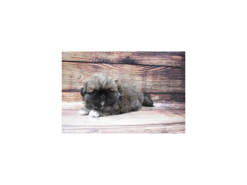 Pekingese-Male-Fawn Sable-2973306-PetCenter Old Bridge Puppies For Sale