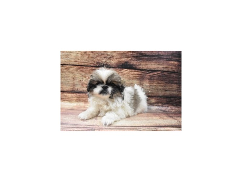 Pekingese-Female-Grey Sable-2973307-PetCenter Old Bridge Puppies For Sale