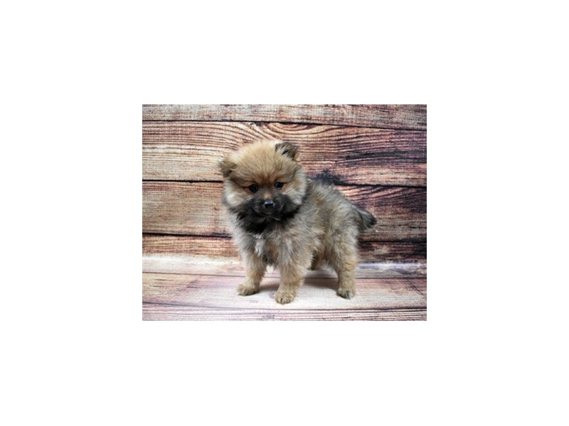 Pomeranian-Male-Red Sable-2980898-PetCenter Old Bridge Puppies For Sale