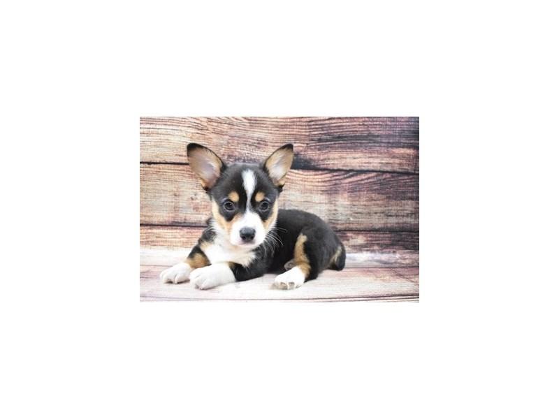 Pembroke Welsh Corgi-DOG-Male-Black and Tan-2980933-PetCenter Old Bridge Puppies For Sale