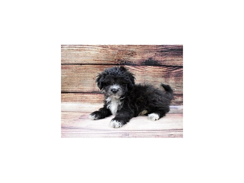 Shih Tzu-DOG-Male-Black and White-2989727-PetCenter Old Bridge Puppies For Sale