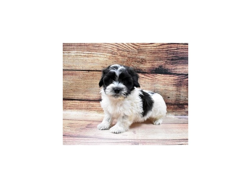 Havanese-Male-Black and White-2998262-PetCenter Old Bridge Puppies For Sale