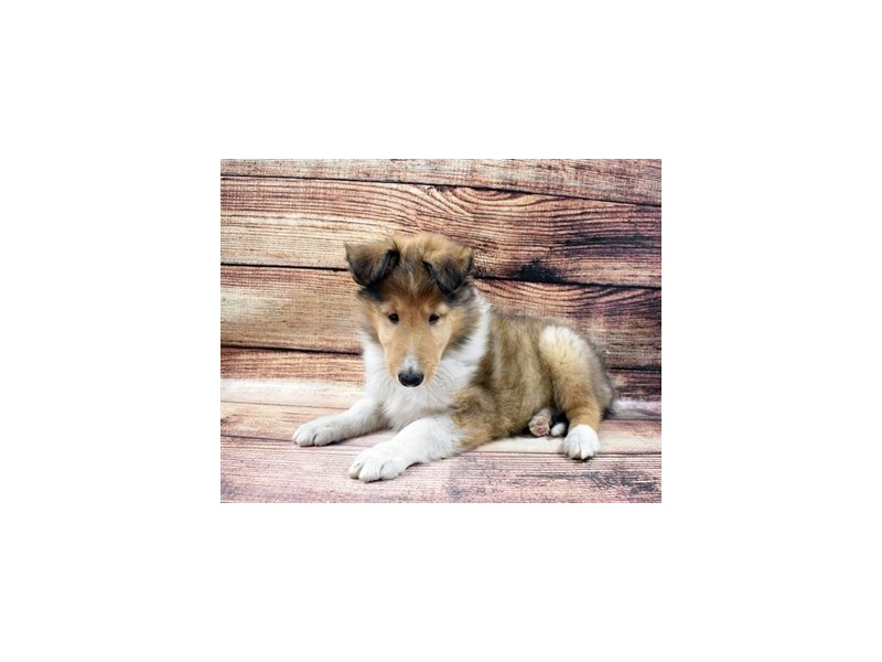 Collie-DOG-Male-Sable and White-2998297-PetCenter Old Bridge Puppies For Sale