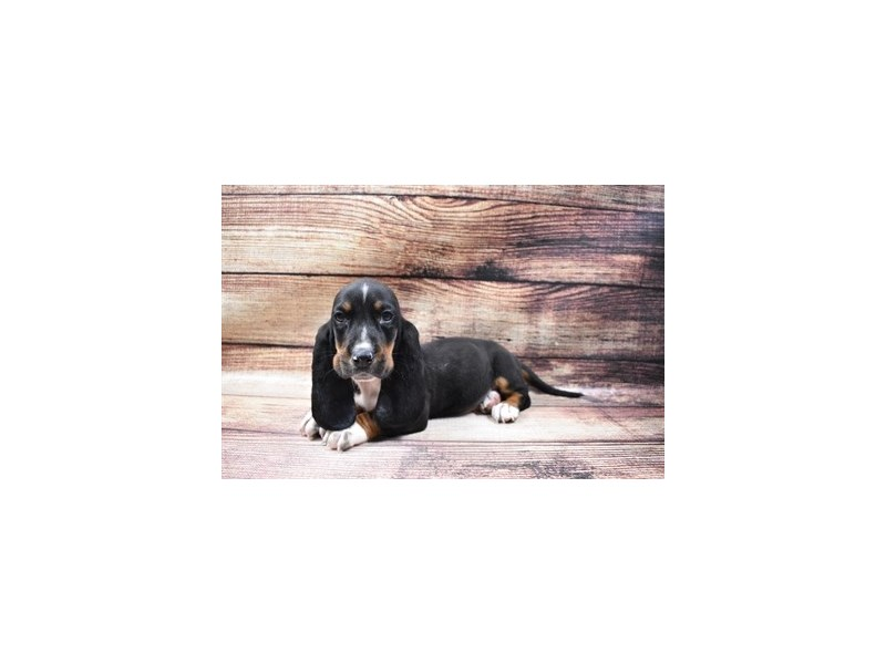 Basset Hound-Female-Black Brown and White-2998333-PetCenter Old Bridge Puppies For Sale