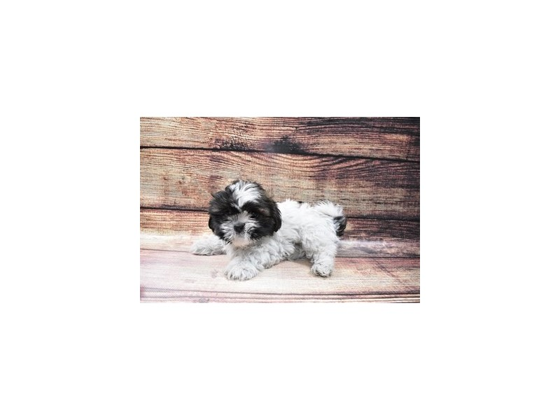 Shih Tzu-DOG-Female-Brindle and White-3005998-PetCenter Old Bridge Puppies For Sale