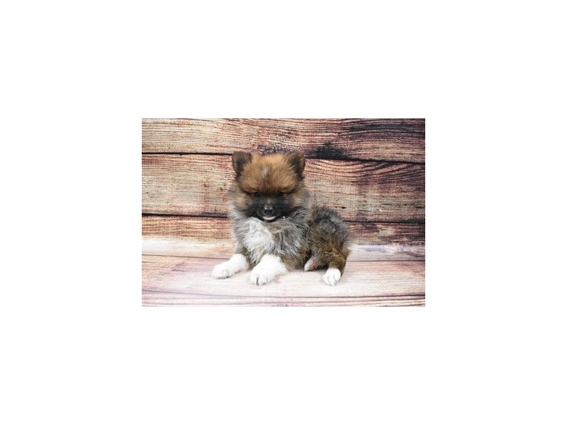 Pomeranian-DOG-Male-Orange Sable-3006873-PetCenter Old Bridge Puppies For Sale