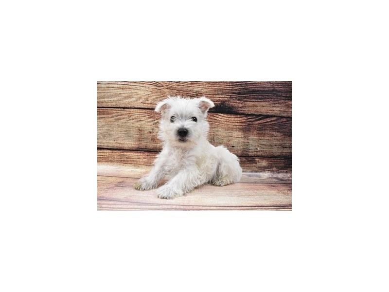 West Highland White Terrier-Male-White-3006914-PetCenter Old Bridge Puppies For Sale
