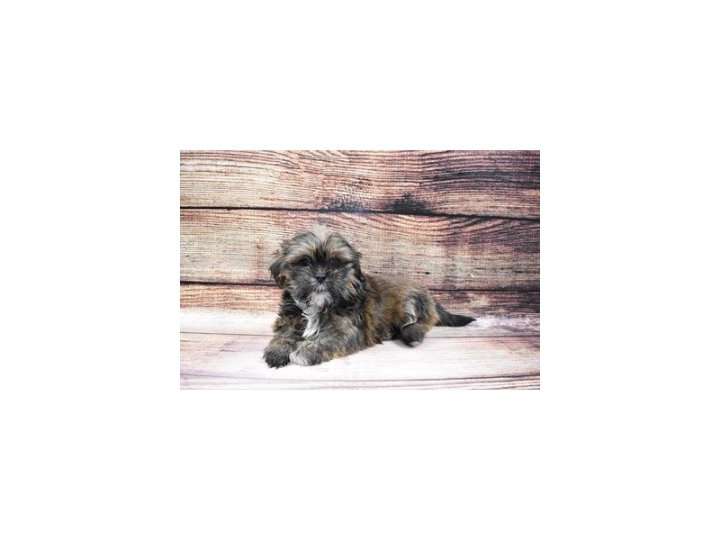 Lhasa Apso-Male-Grizzle-3006942-PetCenter Old Bridge Puppies For Sale