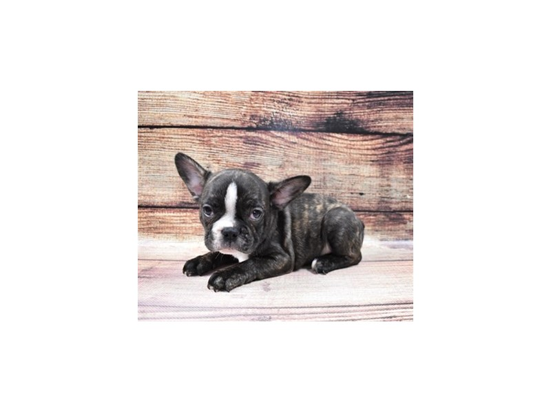 French Bulldog-Male-Brindle-3006951-PetCenter Old Bridge Puppies For Sale