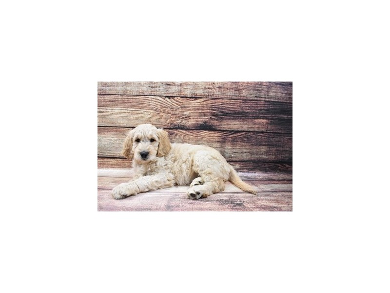 Goldendoodle-Female-Golden-3015950-PetCenter Old Bridge Puppies For Sale