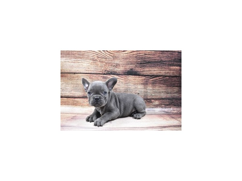 French Bulldog-Male-Blue-3015962-PetCenter Old Bridge Puppies For Sale