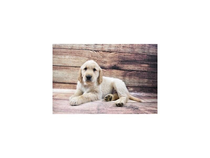 Golden Retriever-DOG-Male-Light Golden-3015975-PetCenter Old Bridge Puppies For Sale
