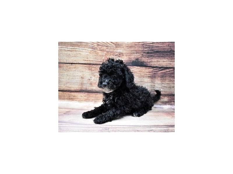 Bichon Poo-Female-Black-3015987-PetCenter Old Bridge Puppies For Sale