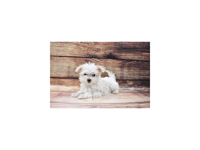 Maltese-DOG-Male-White-3016039-PetCenter Old Bridge Puppies For Sale