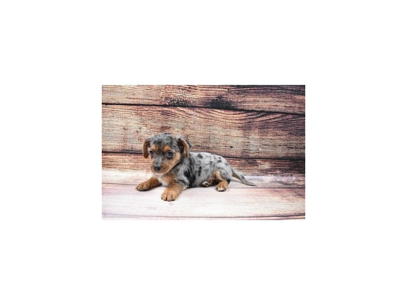 Chiweenie-Female-Blue and Tan-3026748-PetCenter Old Bridge Puppies For Sale