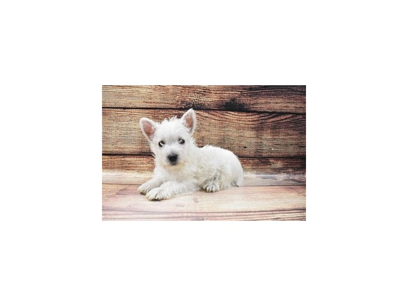 West Highland White Terrier-Male-White-3026760-PetCenter Old Bridge Puppies For Sale
