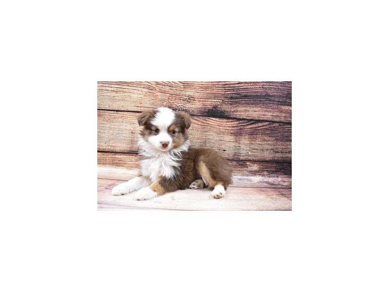 Miniature Australian Shepherd-DOG-Female-Red and White-3026769-PetCenter Old Bridge Puppies For Sale