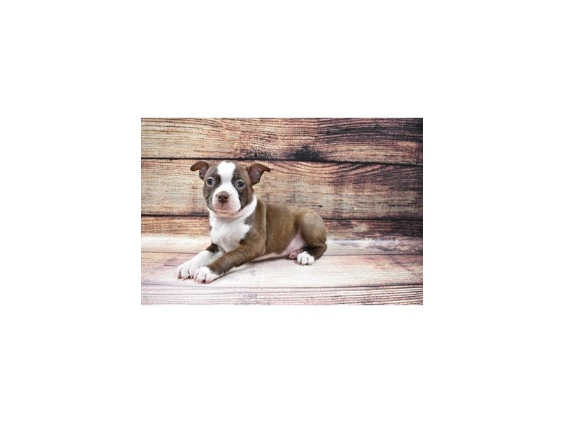 Boston Terrier-Male-Seal and White-3026776-PetCenter Old Bridge Puppies For Sale