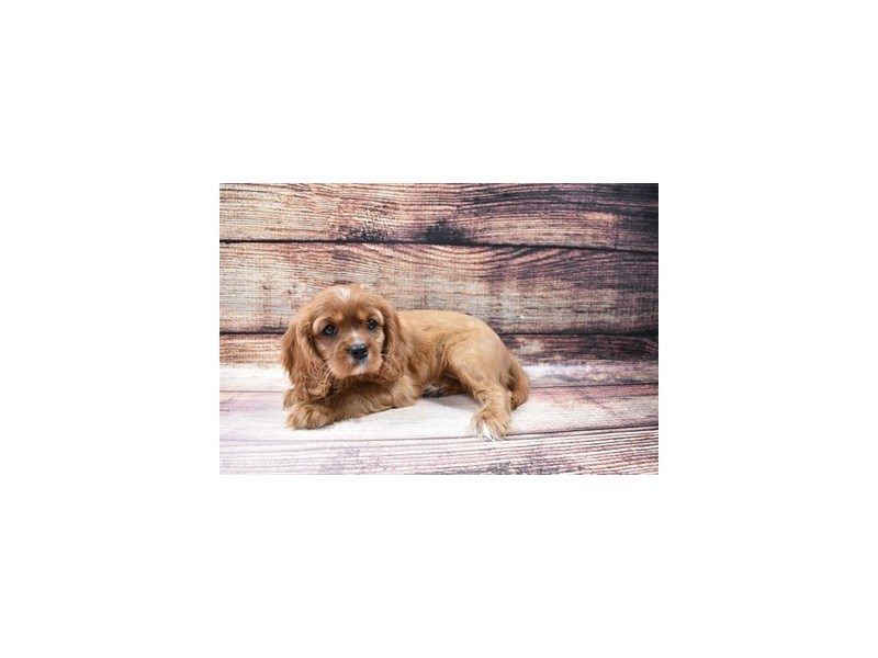 Cavalier King Charles Spaniel-DOG-Female-Ruby-3026793-PetCenter Old Bridge Puppies For Sale