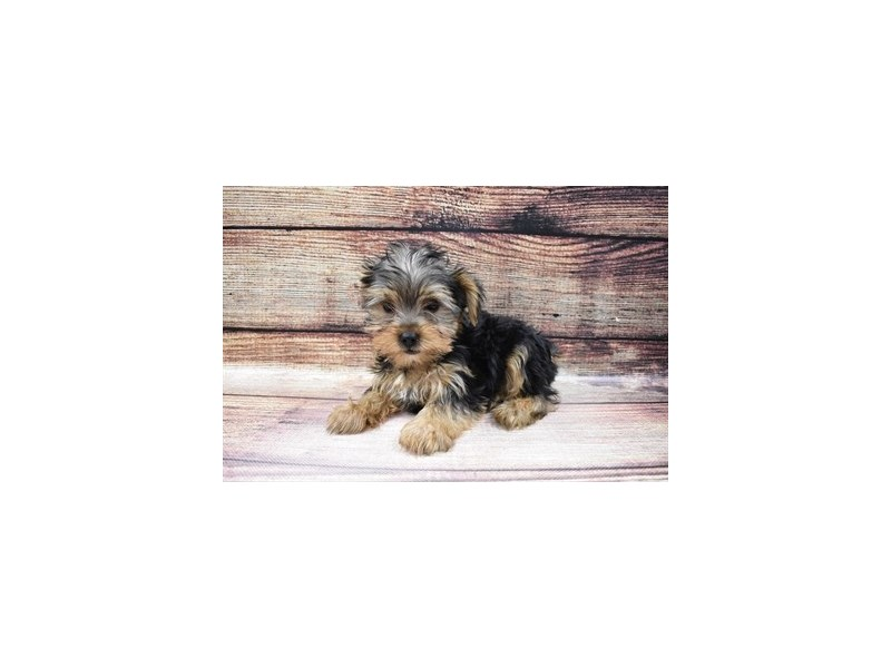Yorkshire Terrier-DOG-Male-Black and Tan-3026797-PetCenter Old Bridge Puppies For Sale