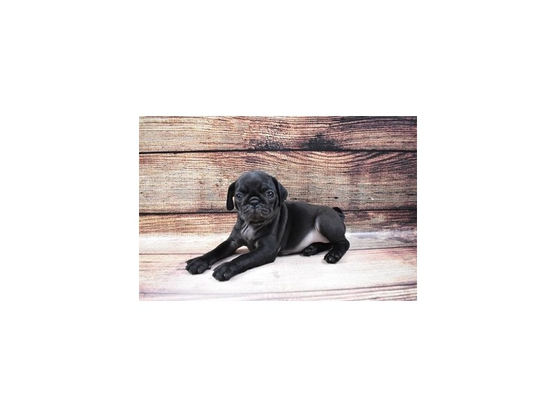 Pug-Male-Black-3026805-PetCenter Old Bridge Puppies For Sale