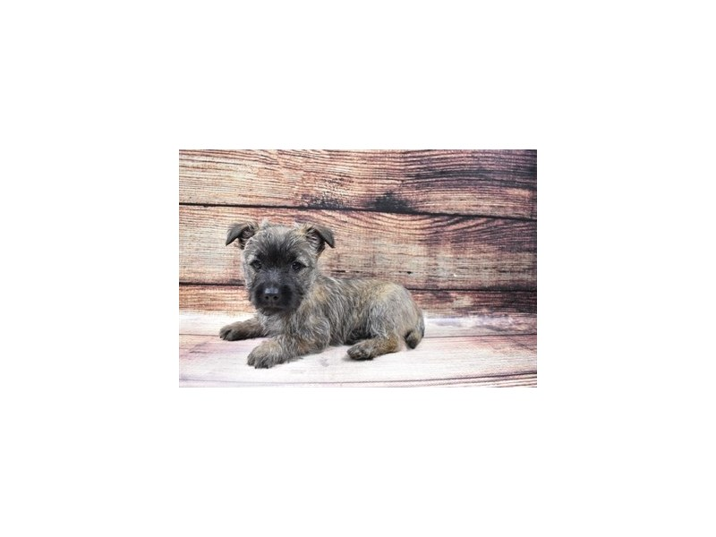Cairn Terrier-DOG-Male-Wheaten-3026875-PetCenter Old Bridge Puppies For Sale