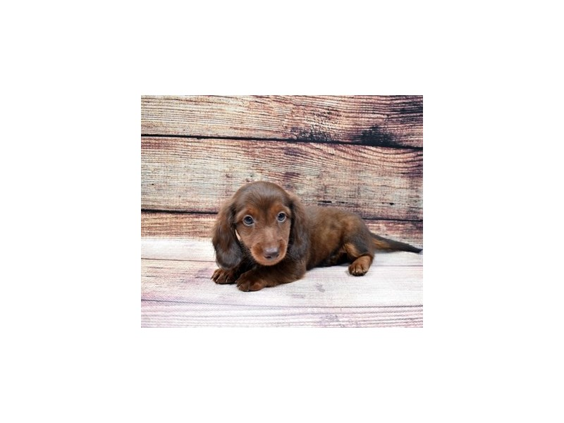 Dachshund-DOG-Male-Chocolate and Tan-3026911-PetCenter Old Bridge Puppies For Sale