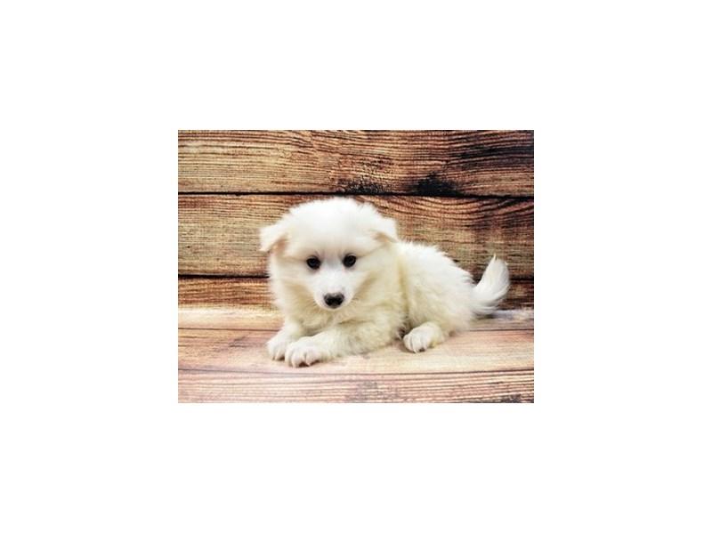 American Eskimo-Male-White-3026917-PetCenter Old Bridge Puppies For Sale