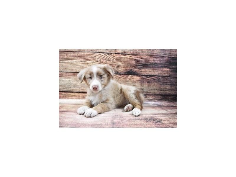 Australian Shepherd-Female-Red Merle-3026924-PetCenter Old Bridge Puppies For Sale