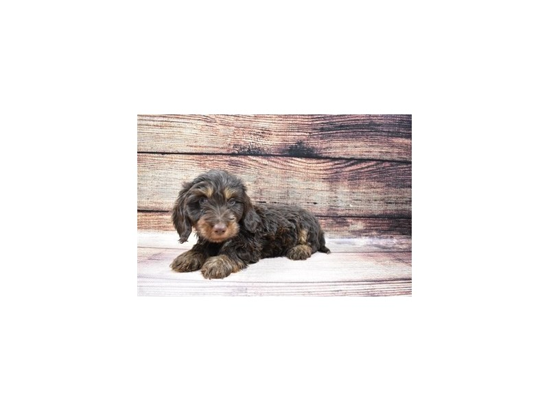Dachshund-DOG-Male-Chocolate and Tan-3026933-PetCenter Old Bridge Puppies For Sale
