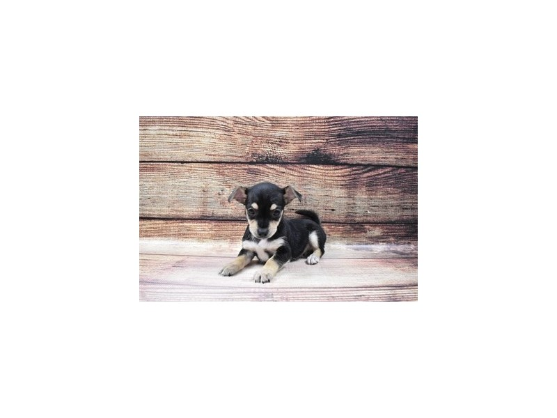 Chorkie-Female-Black and Tan-3036020-PetCenter Old Bridge Puppies For Sale