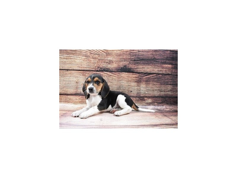 Beagle-DOG-Male-Black White and Tan-3036038-PetCenter Old Bridge Puppies For Sale